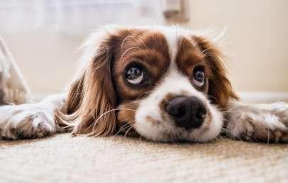 كيفية إحضار كلب إلى إنجلترا